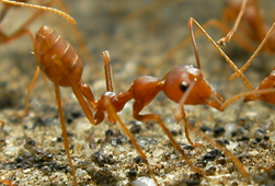 Native Fire Ants
