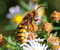 Yellowjackets Amp Hornets July Pest Of The Month